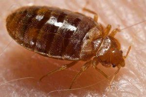 Клопы в квартире: как избавиться от паразитов простыми способами?